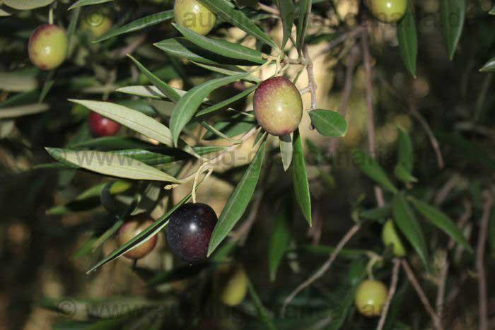 Schwarze und grüne Oliven auf Gran Canaria