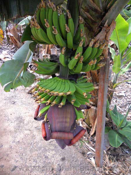 Bananenplantage1