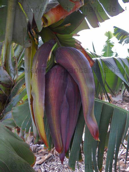 Bananenplantage2