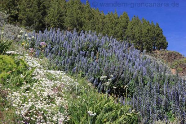 Schönste Blüte, blauer Natternkopf, im März, April bei einer Wanderung auf Gran Canaria