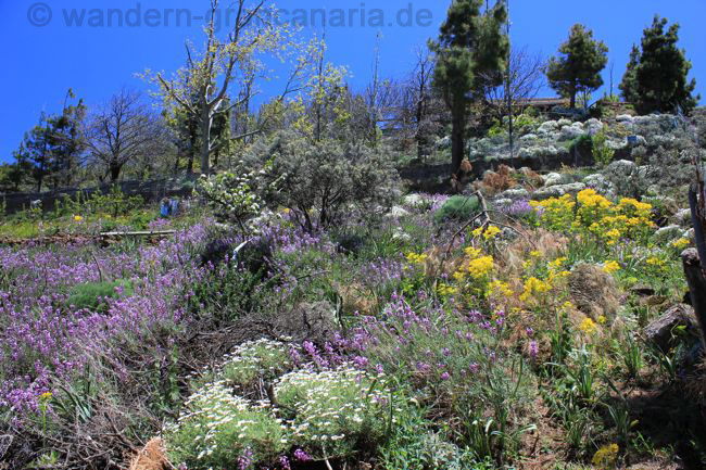 Lila und gelbe Blüten am Ende des Winters auf Gran Canaria