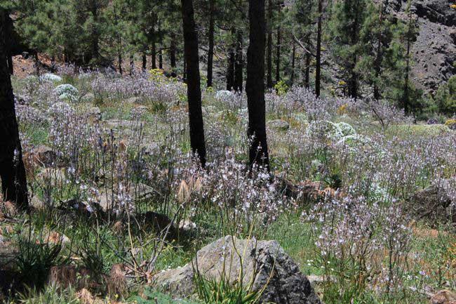 Im Kiefernwald, weisse Lilie, Kleinfrüchtiger Affodill (Asphodelus aestivus)