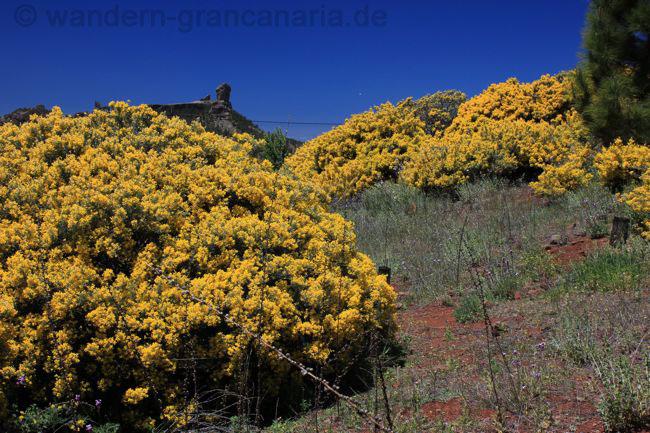 Roque Nublo mit gelb blühendem Ginster