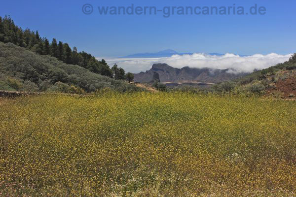 Gelbe Blühte, mit Blick auf den Roque Bentaiga und Teide