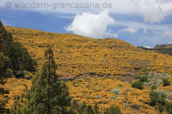 Gelbe Ginsterblüte im Mai