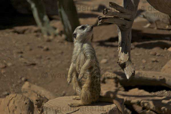 Erdhörnchen im Palmitos Park