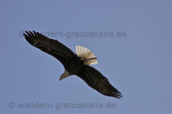 Seeadler im freien Flug