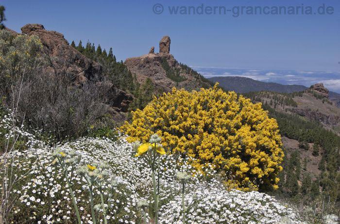 Weisse Margeriten, gelber Ginster vor Roque Nublo