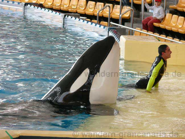 Orca Show Loro Park, Teneriffa