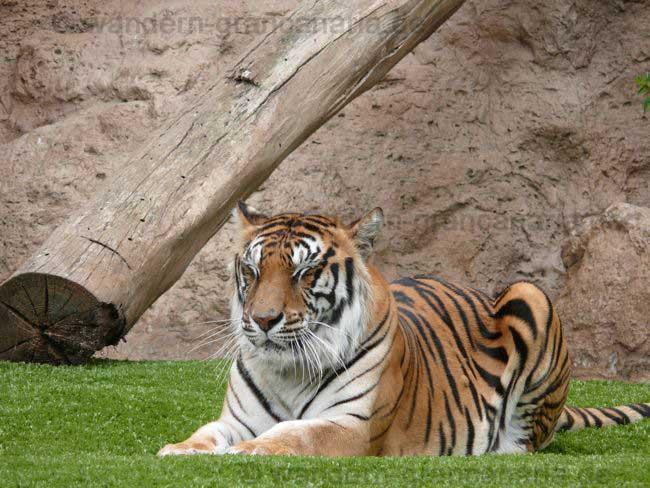 Loro Park Tiger
