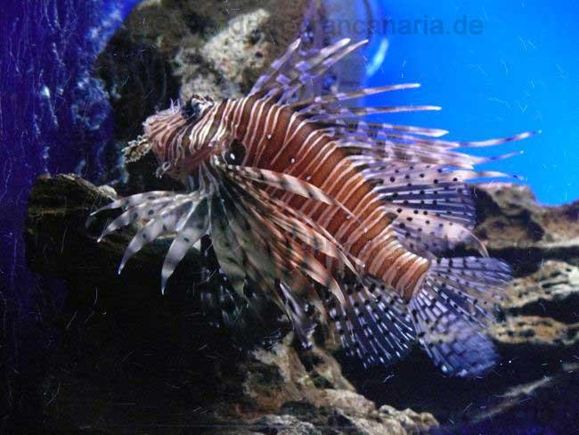 Rotfeuerfisch, Aquarium Teneriffa