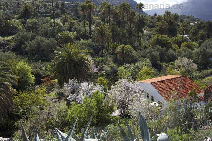 Palm groves and almond trees in bloom