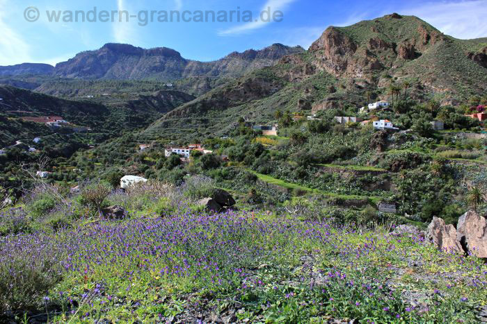 Purple bugloss in a valley between Santa Lucia and San Bartolome