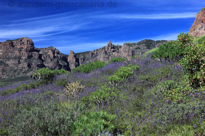 The highest mountain of Gran Canaria below purple Canaries Lavender.
