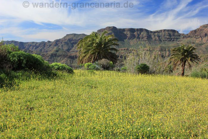 Yellow flower meadow in the valley of Tirajana