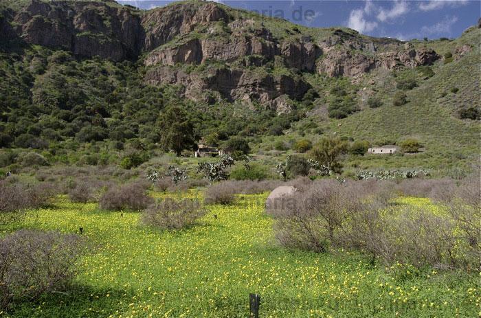 Gelb blühende Blüten im Winter im Bandamakrater