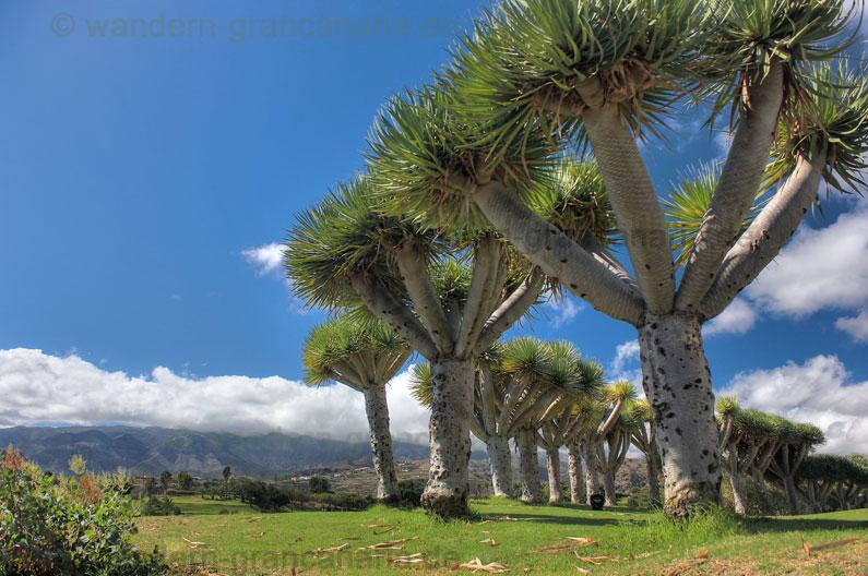 Drachenbäume am Golfplatz von Bandama