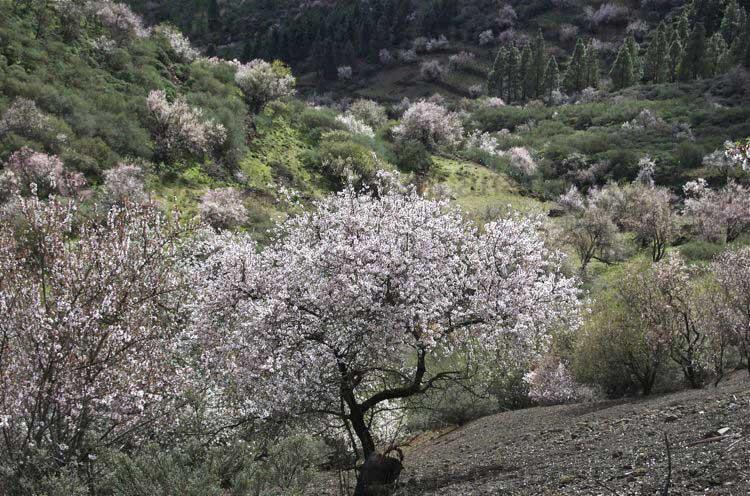 Blühender Mandelbaum Wandertour im Januar auf Gran Canaria