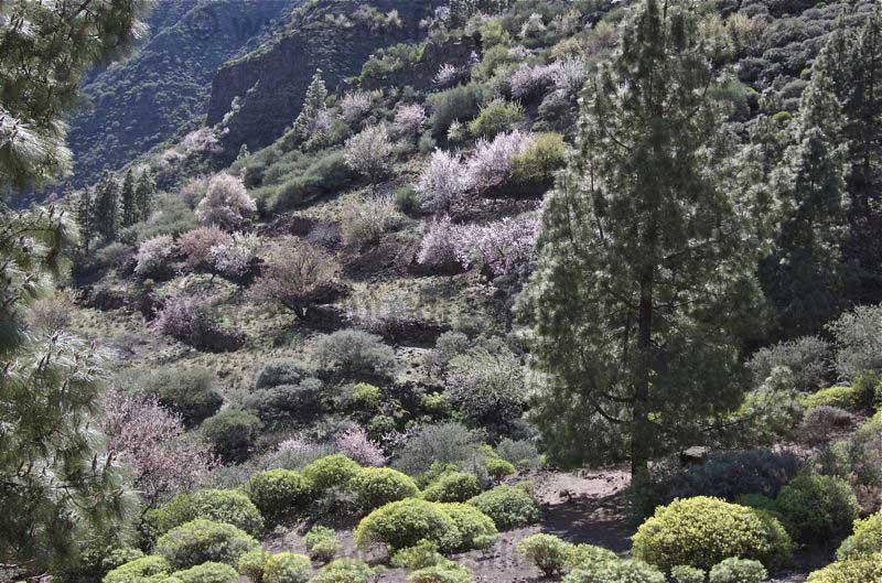 Mandelblüte im Tal von Guayadeque