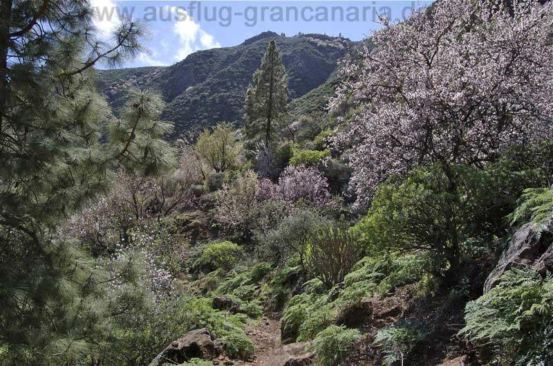 Der Wanderweg führt durch blühende Mandelbäume