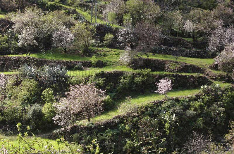 Ehemalige Terrassenfelder mit weissen Mandelblüten