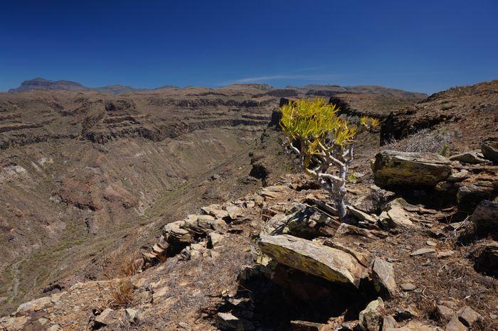 Tabaiba, Wolfsmilchgewächs und das Tal von Medio Almud im Hintergrund.