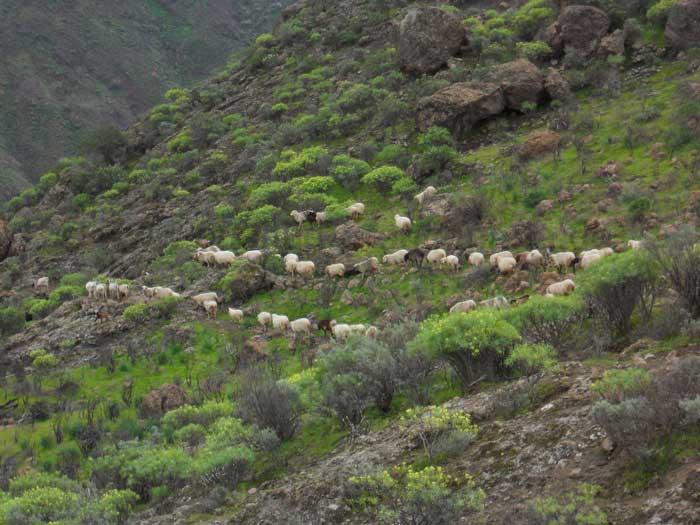 Schafe auf der Winterweide auf Gran Canaria