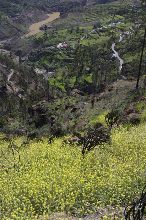 Gelbe Blumen im Februar oberhalb von Soria