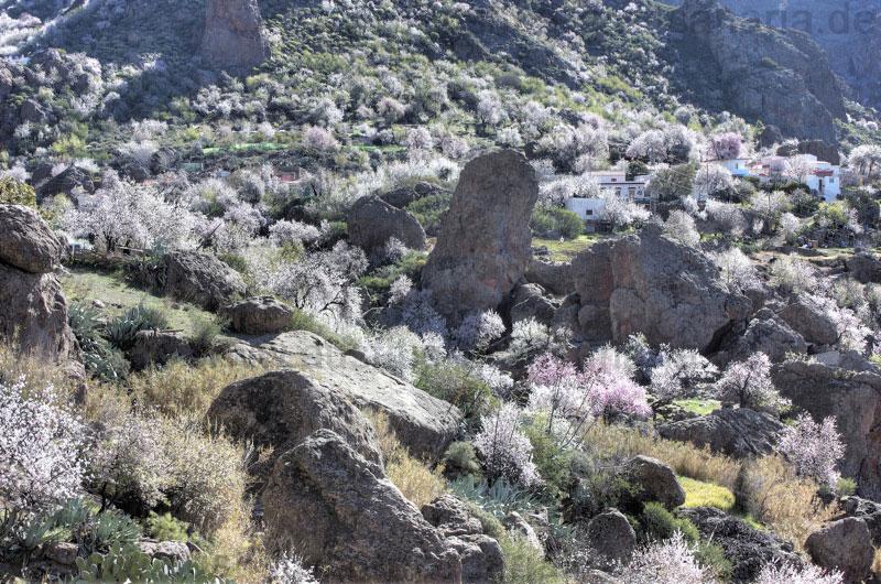 Mandelblüte Gran Canaria Zentrum