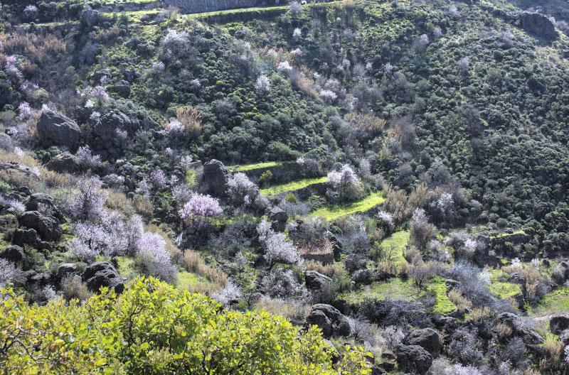 Grüne Terassenfelder und blühende Mandelbäume auf Gran Canaria