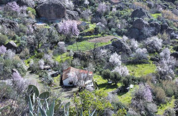 Mitte Januar blühen die Mandelbäume auf Gran Canaria