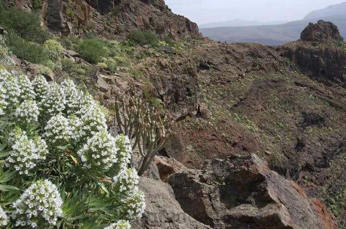 Weisser Natternkopf an Felsband, Wandertour Gran Canaria
