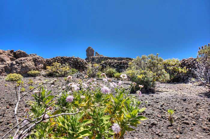 """Blick zum Roque Nublo, mit Pflanze """"Hoher Federkopf"""" im Vordergrund"""