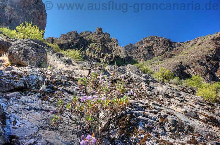 Blume, Hoher Federkopf, auf Felsband, Gran Canaria