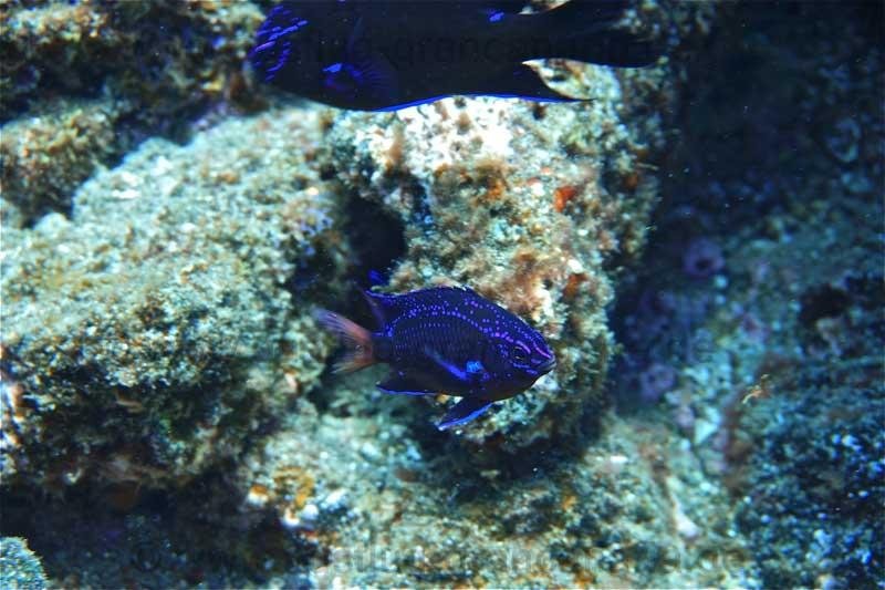 Blaue Fische, Neon Riffbarsche (Abudefduf luridus) auf Gran Canaria