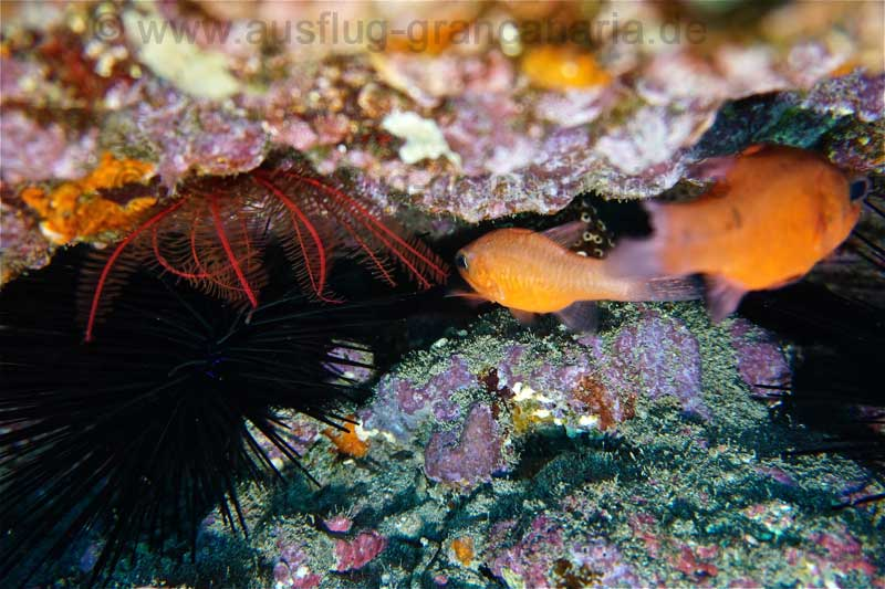 Orange Meerbarbenkönige, (Apogon imberbis) und Rosiger Federstern (Antedon bifida), Tauchgang Risco Verde Arinaga