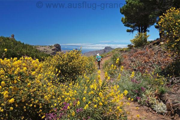 Der gelbe Ginster blüht im Mai und Juni auf Gran Canaria