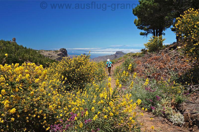 Blühender gelber Ginster und Roque Nublo, Wanderung im Juni auf Gran Canaria