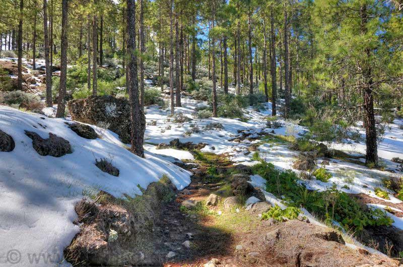 Schnee im Kiefernwald von Gran Canaria