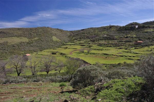 Grüne Terrassenfelder im November auf Gran Canaria