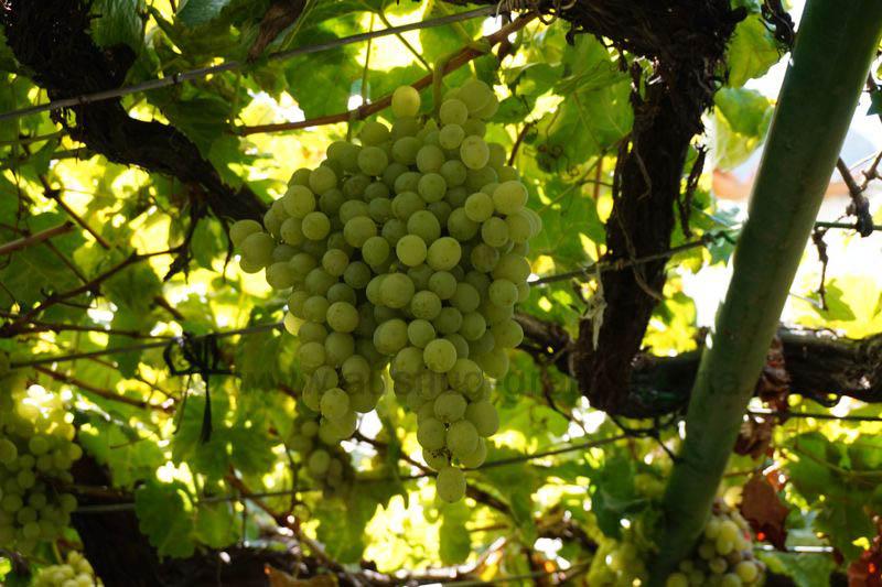 Weintrauben auf einer Finca im Tal von Agaete