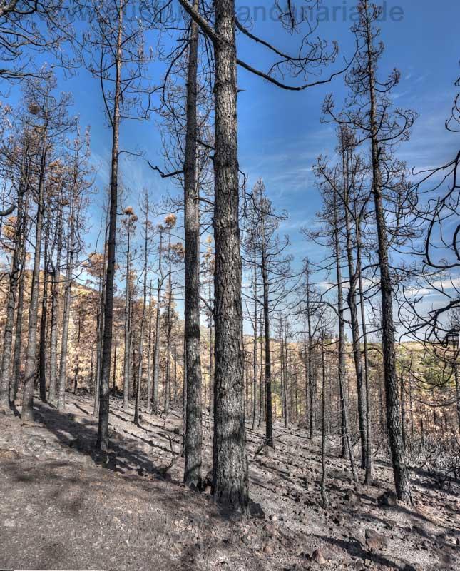 Verkohlte Kiefern nach dem Waldbrand auf Gran Canaria